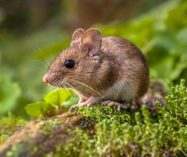 como detectar plagas de roedores en restaurantes
